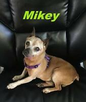 "Senior Male Dog - Miniature Pinscher: ""Mikey - Adorable Senior!"""