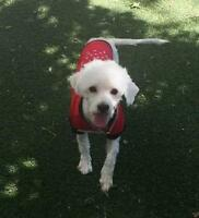 "Adult Male Dog - Bichon Frise: ""Berkley"""