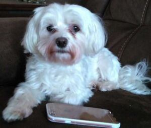 LOST DOG *small, white, MALTESE* possibly INJURED* REWARD!!