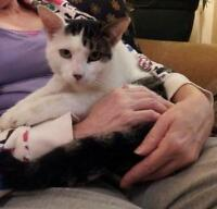 "Adult Male Cat - Domestic Short Hair - gray and white: ""Cow Cat"""
