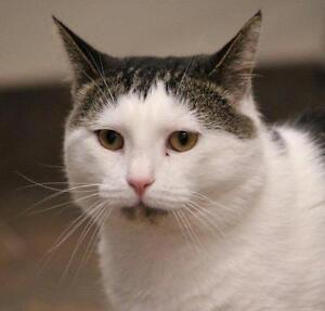 "Adult Male Cat - Domestic Short Hair: ""Write-On"""