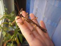 Adult stick insect pair