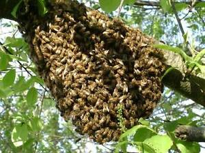 Beekeeping and Swarm removal in Lake Macquarie region Kilaben Bay Lake Macquarie Area Preview