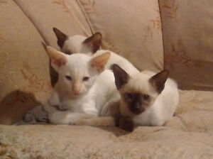 PUREBRED CLASSIC SIAMESE KITTENS READY TO GO NOW