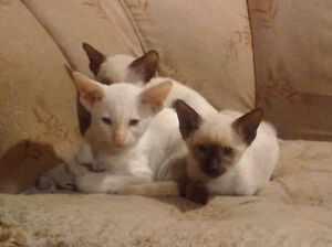 3 PUREBRED CLASSIC SIAMESE KITTENS STILL AVAILABLE - SALE PRICE