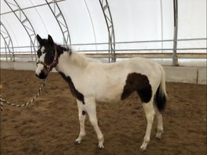 Magnifique pouliche Paint Horse enr.