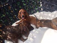 The most beautiful Miniature dachshund puppies