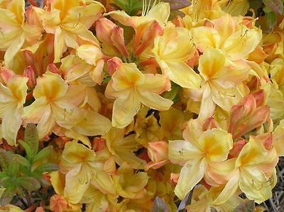 - Rhododendron Knaphill Hybrids DECIDUOUS AZALEA Seeds!