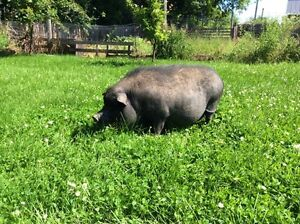 Pot Belly pig free to good home/farm
