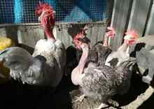Naked Neck Fertile Eggs and baby Chickens!! Clybucca Kempsey Area Preview