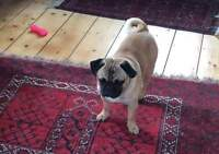 Lost large Fawn Neutered Pug