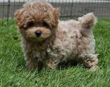 Maltese shitzu puppy or similar Doncaster Manningham Area Preview