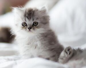 Gorgeous shaded silver persian kitten