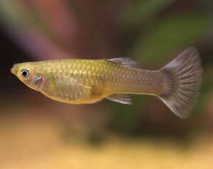 Female guppies