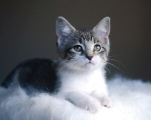 Chance - rescued brown & white tabby male kitten for adoption