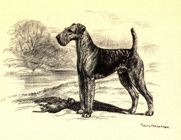 Airedale Terrrier - Dog Art Print - Megargee MATTED