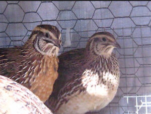 6 month old male Japanese Quails pick up pakenham south Oakleigh Monash Area Preview