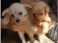 Chihuahua cross Pom puppies