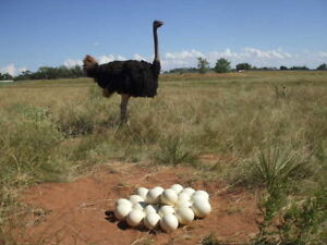 Ostrich Chicks , Ostrich Eggs and Ostrich feathers.