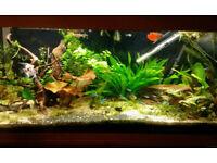 tropical fish for sale neon tetra black tetra cardinal