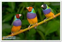 Gouldian  finches all coluer