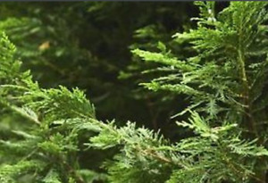 ***SPRING SPECIAL ON NOW!!!*** CEDAR TREES*** HEDGING