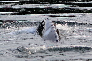 Salmon Fishing Charters! Campbell River Comox Valley Area image 7