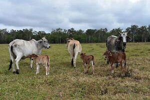 Brahman cows for sale Tolga Tablelands Preview