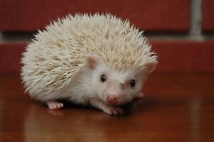 Year and a half old albino hedgehog with cage and running wheel.