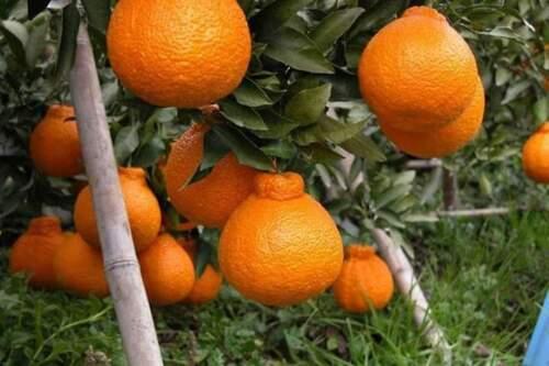 """Dekopon orange Fruit Plant Live Tree RARE graft """"SUMO"""""""
