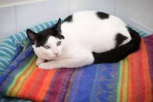 AK0900 : Thomas - CAT for ADOPTION - Vet Work Included Alkimos Wanneroo Area Preview