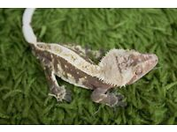 Crested Gecko Male