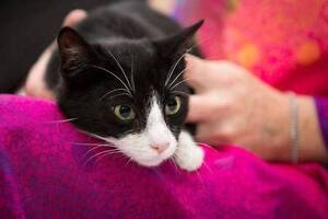 AK0899 : Felix - CAT for ADOPTION - Vet Work Included Alkimos Wanneroo Area Preview
