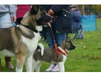 Big chunky american akita puppies for sale