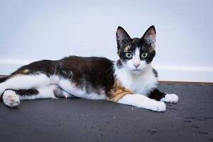 AC0511 : Sheiba - CAT FOR ADOPTION - Vet Work Included Joondalup Joondalup Area Preview