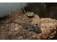 Crested forest lizards