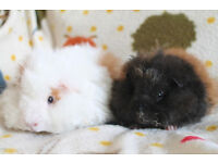 Guinea Pigs Longhaired Babies Pair For Sale