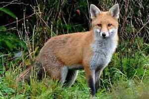 **VERMIN CONTROL,FOX PROBLEM? IM HERE TO HELP!* Liverpool Liverpool Area Preview