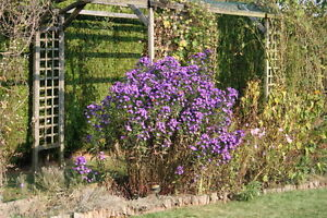 ASTERS MAUVES