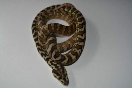 Various Pythons Skye Frankston Area Preview