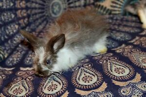 Baby Cashmere Lop Bunnies Jilliby Wyong Area Preview