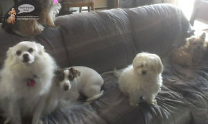 CAGE-FREE SLEEPOVERS & PLAYDATES FOR SMALL DOGS West Island Greater Montréal image 5