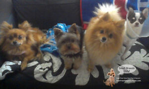 CAGE-FREE SLEEPOVERS & PLAYDATES FOR SMALL DOGS West Island Greater Montréal image 3