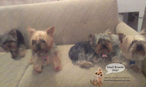 DAYCARE/SLEEPOVERS(SMALL DOGS)IN CAGE-FREE HOME SINCE 2010 West Island Greater Montréal image 10