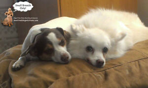 Daycare & resort for small dogs in a certified trainers home West Island Greater Montréal image 10