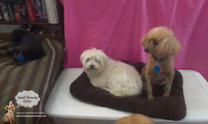 SITTING FOR SMALL DOGS BY CPR CERTIFIED TRAINER West Island Greater Montréal image 6