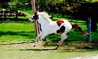 Registered PAINT MARES