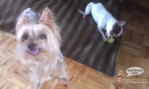 Home boarding/daycare small dogs since 2010 by certified trainer West Island Greater Montréal image 8