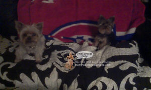 Home boarding/daycare small dogs since 2010 by certified trainer West Island Greater Montréal image 7