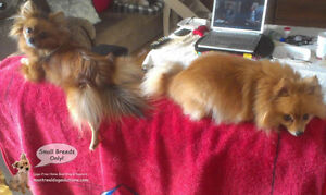 SINCE 2010 **Small Breed Dog Playdates,Sleepovers (No Cages)** West Island Greater Montréal image 10
